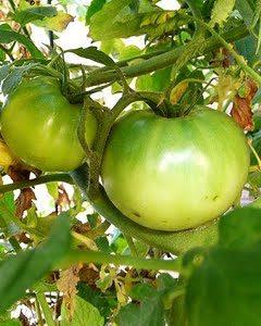 green tomatoes