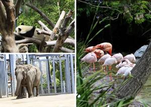 san diego zoo panda image