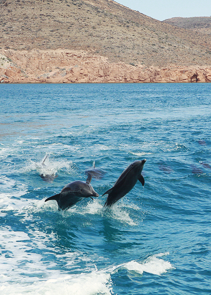 dolphins in la paz