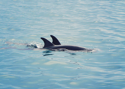 dolphins in the sea of cortez