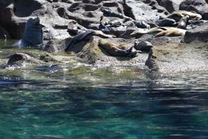 swim with sea lions in la paz isla espiritu santo