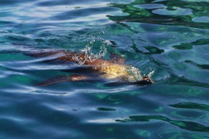 swimming with sea lions isla espiritu santo la paz