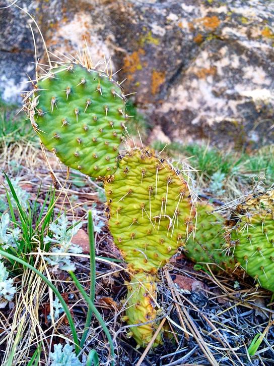 cacti - red rocks trail boulder colorado