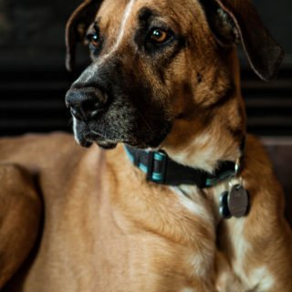 German Shepherd Rhodesian Ridgeback Mix