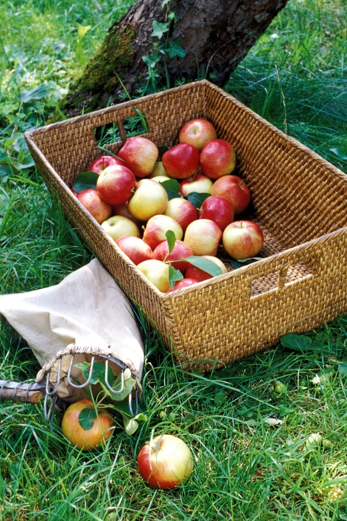 basket of freshly picked apples in the grass